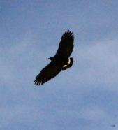 Common Blackhawk